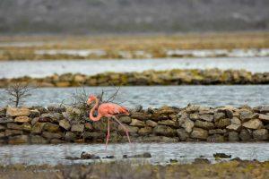 South Caicos Flamingo
