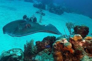 South Caicos Stingray